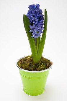 Hyacinth, Hyacinthus Orientalis, Asparagaceae