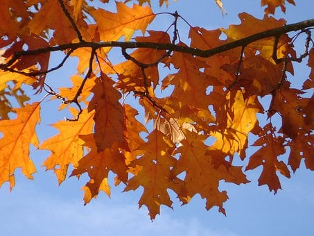 Red Oak, Autumn, Leaves, Orange, Red, Brown, Yellow