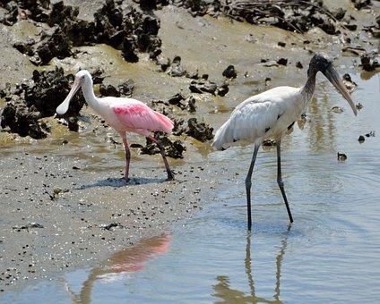 Spoonbill, Wood Stork, Wading, Birds, Avian, Wildlife