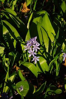 Blue Star, Scilla, Blossom, Bloom, Flower, Blue, Spring