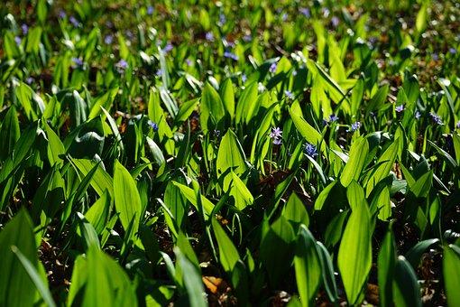 Blue Star, Garlic Leaves, Scilla, Blossom, Bloom