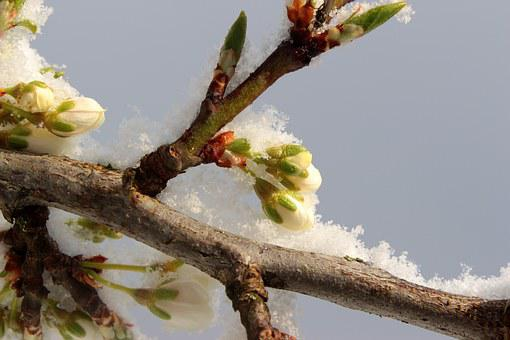 Plum Tree, Prunus Domestica, Plum Bud, Bud, Blossom