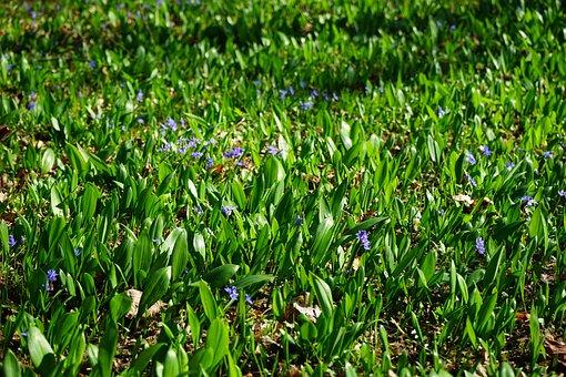 Blue Star, Scilla, Garlic Leaves, Blossom, Bloom