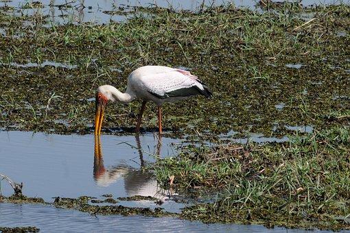 Botswana, Chobe, Yellow-billed Stork