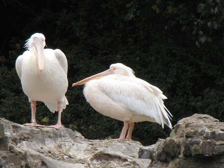 Pelicans, Birds, White, Plumage, Feathers, Bright