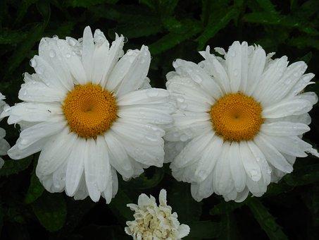 Raindrops, Daisy, Flower, Nature, Summer, Plant, Macro