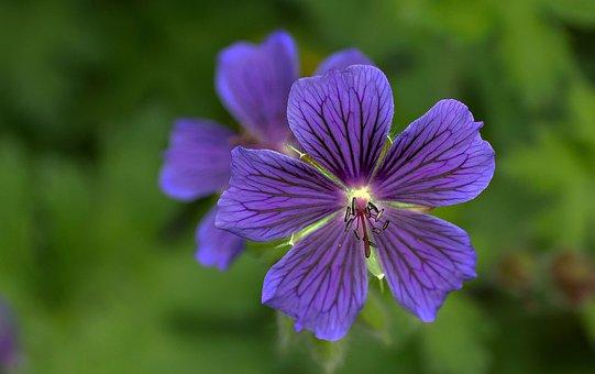 Garden, Cranesbill, Flower, Beautiful, Color
