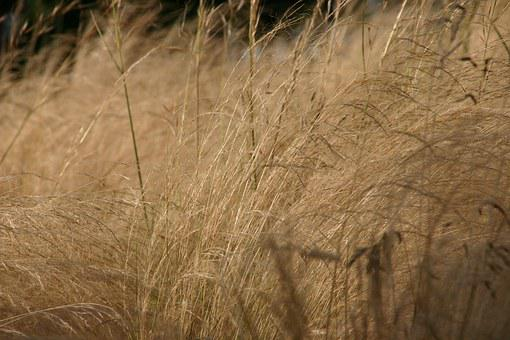 Reed, Dry Plant, Grey, Silver, Nature, Landscape, Water