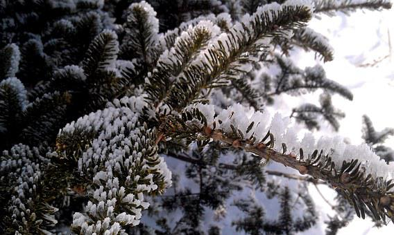 Winter, Pine, Ice, Snow, Tree, Winter Trees, Cold