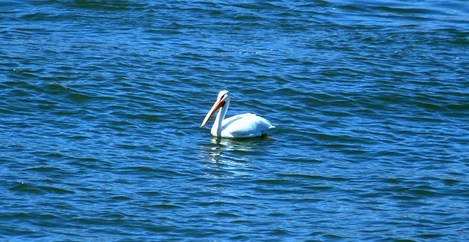 Pelican, Bird, Large, White, Bill, Long, Swimming