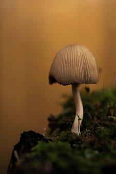 Mica Comatus, Mushroom, Coprinus, Coprinus Micaceus