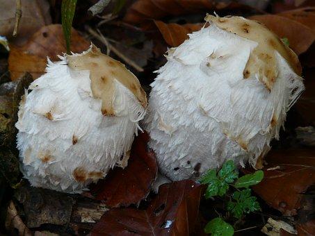 Schopf Comatus, Mushrooms, Coprinus Comatus