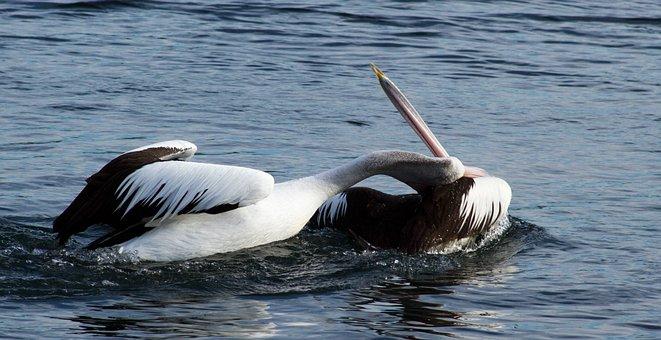 Pelicans, Animal, Water, Tired, Water Bird, Pelecanidae