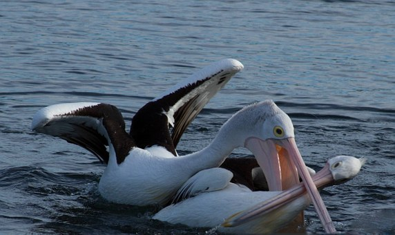 Hungry, Pelican, Attack, Animal, Water, Water Bird