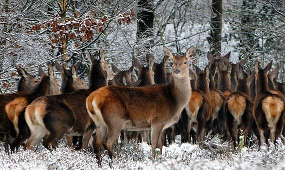Animals, Deer, Nature, Wild, Photo, Life, Mammals