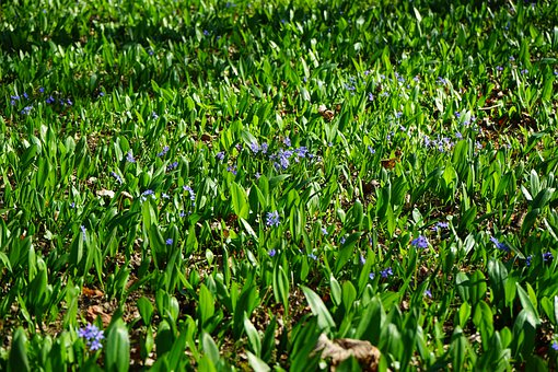 Blue Star, Scilla, Blossom, Bloom, Flower
