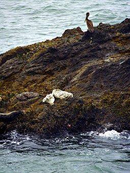 White, Seals, Animals, Sea, Pacific, Nature, Pelican