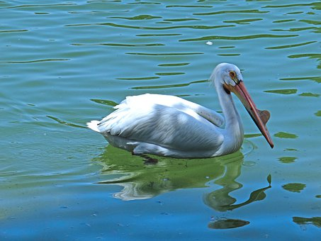 Pelicans, Swimming, Water, Birds, White, Feathers, Long