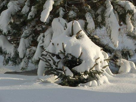 Pine Tree, Winter, Tree, Pine, Season, Snow, December