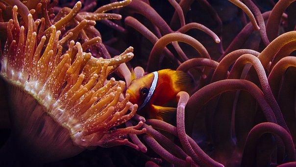 Clown Fish, Anemone Fish, The Sea Water Aquarium