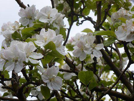Branches, Apple Trees In Blossom, Spring, Flowering