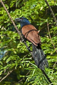 Greater Coucal, Bird, Thailand, Phuket, Centropus