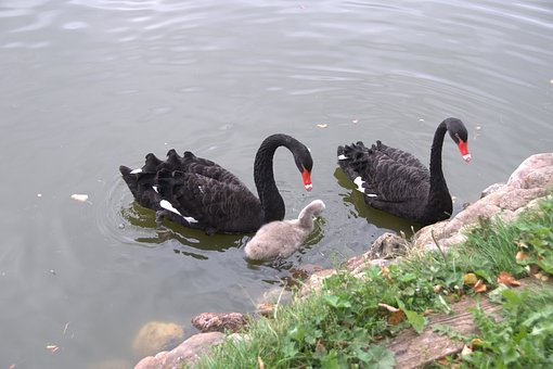 Swan, Chick, Black Swan, Nature, Feathered Race, Family
