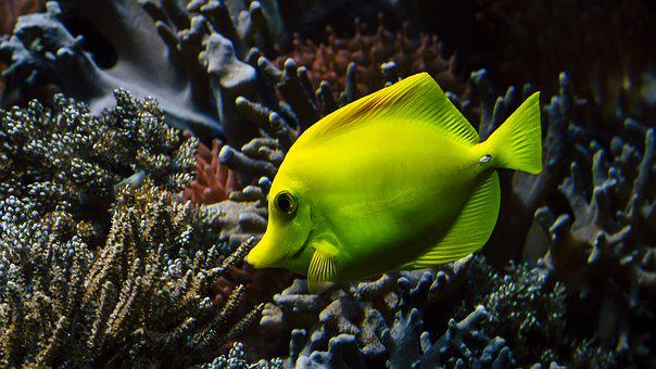 Hawaii Doctor Fish, Coral, Sea Water, Aquarium