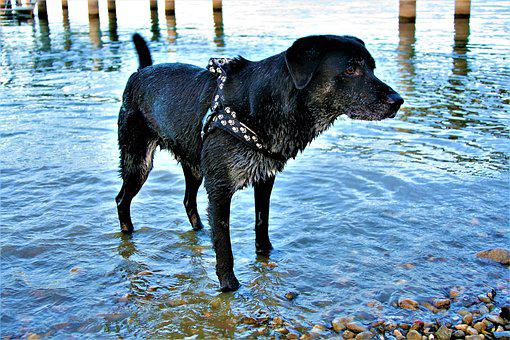 Dog, Dirty, A Friend Of Man, Wet Dog, Lake, Water