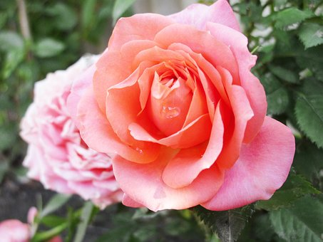 Rose, Flower, Beautiful Flower, One Rose, Nature