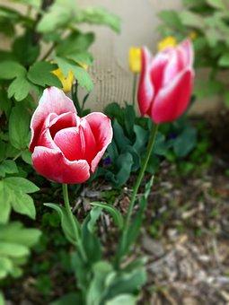 Tulip, Flower, Red, Spring, Bloom, Blooming, Nature