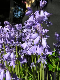 Bluebells, Flowers, Bulbs