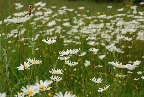 Daisy, Margaritas, Flowers, Margaret Wild, Spring