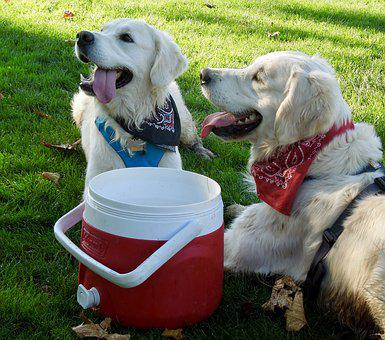Dogs, Brothers, Happy, Golden Retrievers