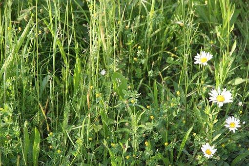 Grass, Flower, Nature, Summer, Meadow, Grasses, Daisy