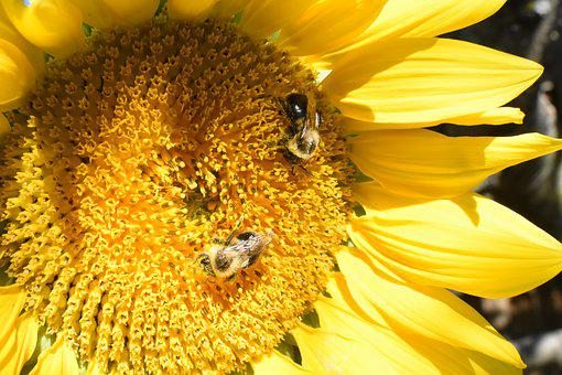 Sunflower, Flower, Bees, Bumblebees, Yellow, Nature