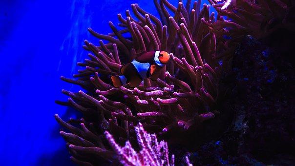 Clown Fish, Nemo, Anemone Fish, Sea Water, Aquarium