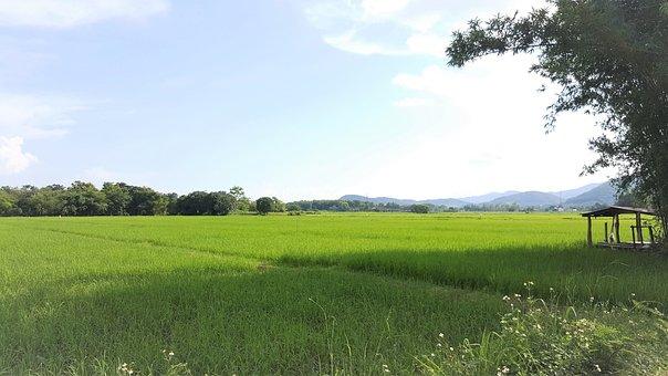 Paddy Field, Rice Field, Green, Sky, Fresh, Ozone, Food