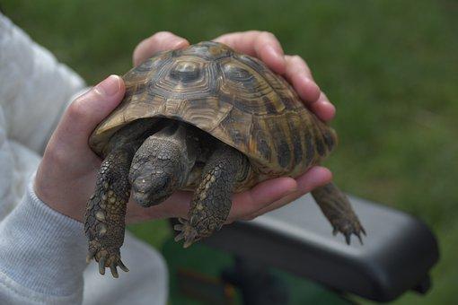 Turtle, Animals, Tortoise, Reptile, Nature, Panzer