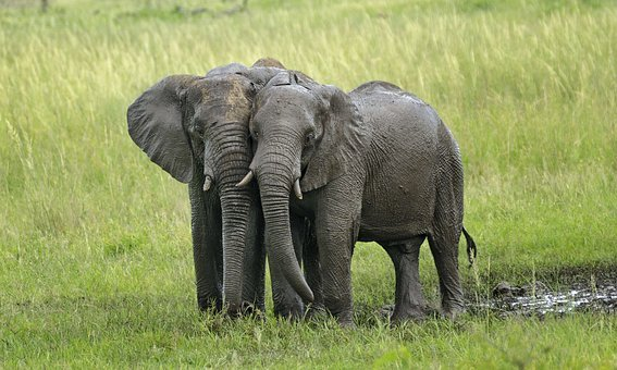 Elephants, Mud, Ivory, Savannah, Waterhole, Etosha, Big