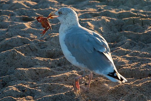 Seagull, Crab, Wave, Baltic Sea, Sea, Water, Beach