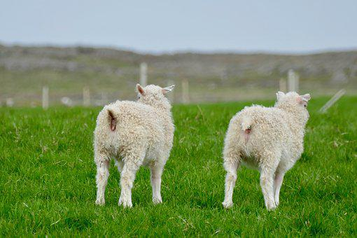 Iceland, Lambs, White, Rear, Schäfchen, Sheep, Nature