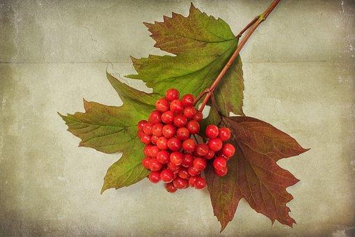 Textures, Nature, Viburnum Opulus, Autumn, Berries