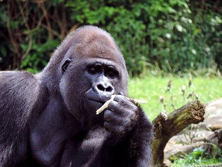 Gorilla, Males, Ape, Animal, Silverback, Imposing