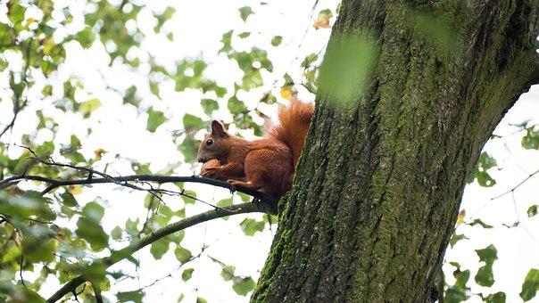 The Squirrel, Ruda, Walnut, Tree, Animals, Nature