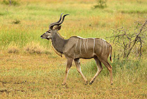 Kudu, Male, Stripes, Elegant, Wildlife, Antelope