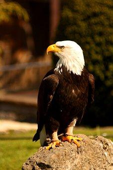 Adler, Eagle, Raptor, Bird, Bird Of Prey Waiting