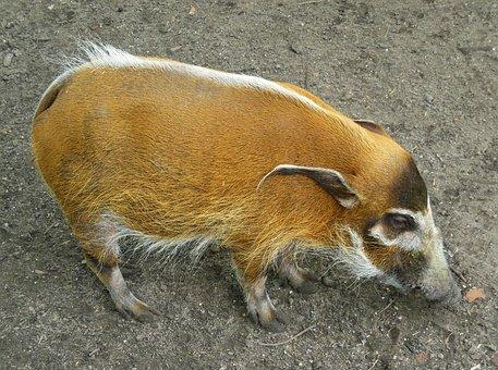 Red River Hog, Hog, Bush Pig, Pig, Animal, Rainforest