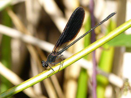 Black Dragonfly, Caballito Del Diable