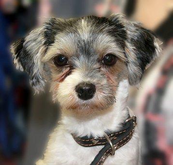 Dog, Small Dog, Funny, York, Biewer-york